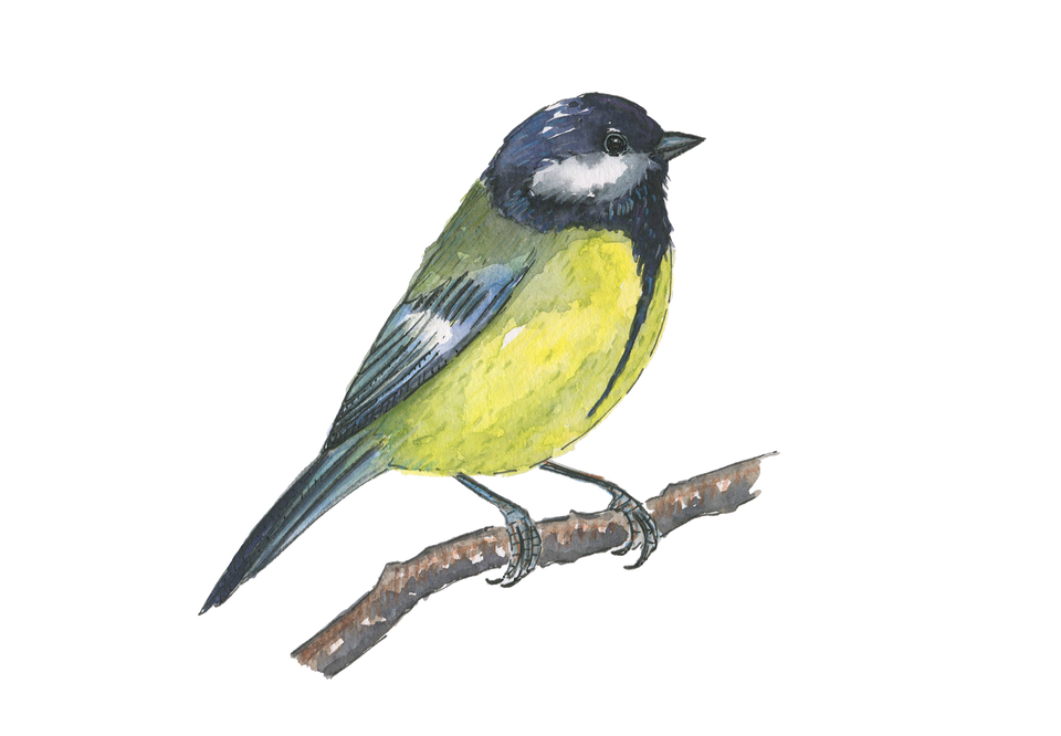 Great Tit PNG.png