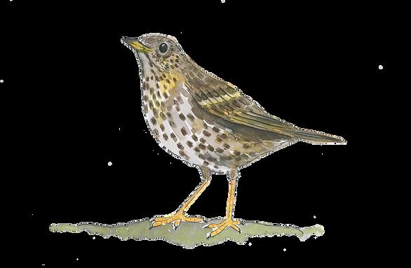 songthrush-watercolour-illustration-sarah-dowling-bristol-based-illustrator