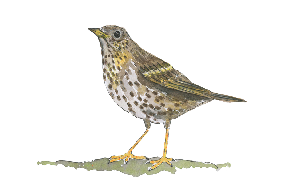 Song thrush PNG.png