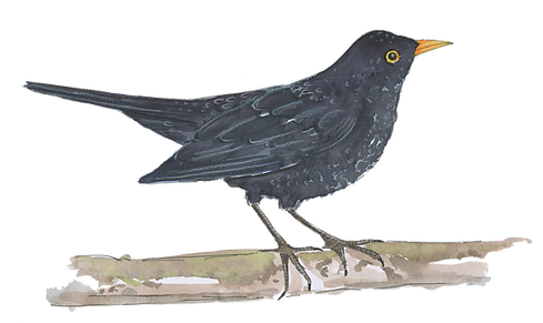 blackbird-watercolour-illustration-sarah-dowling-bristol-wildlife-illustrator