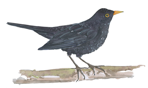 Blackbird PNG.png