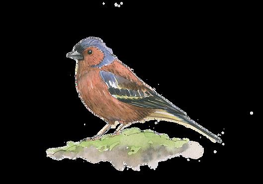 chaffinch-watercolour-illustration-sarah-dowling-bristol-artist
