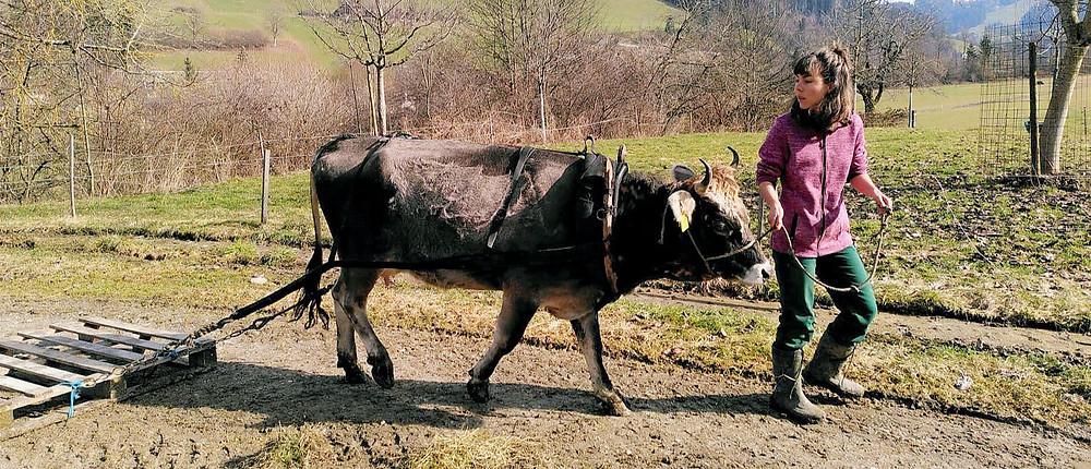 Elly macht grosse Fortschritte in ihrer Ausbildung zur Zug-Kuh. Elly hat sich schnell daran gewöhnt, dass da etwas hinter ihr hertrottet und die Zugstränge in der Kurve ihre Beine berühren.