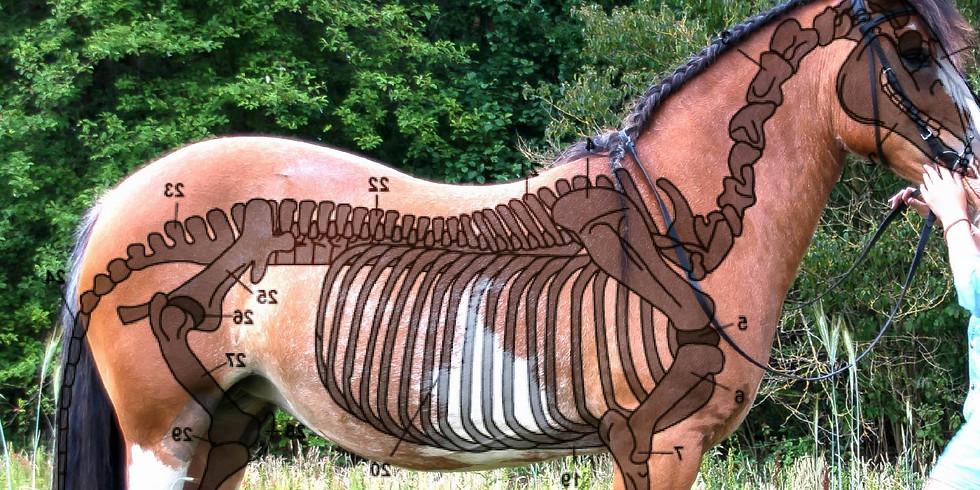 Workshop 'basisanatomie van het paard'