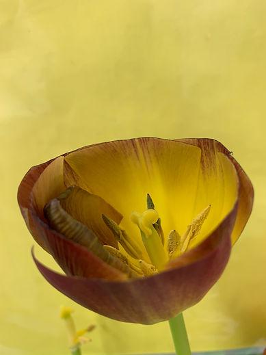 WolfgangTillmans_Clipped Tulip.JPG