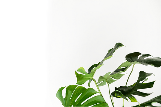 green-monstera-leaves-by-white-wall_edit