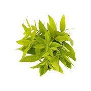 Verbena 2 -  - ASAMI TEA SHOP