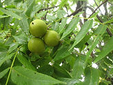 BlackWalnuts1.jpg