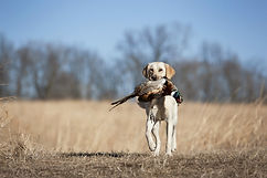 labrador_retriever_bird_dogs_.jpg