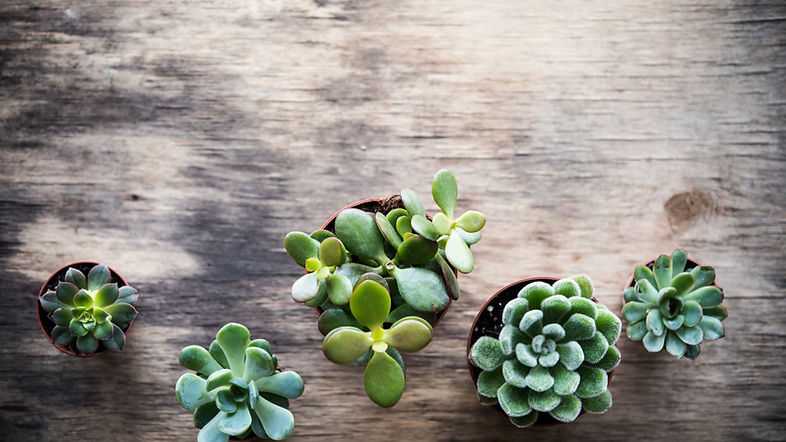 green_succulent_plant_delivery_local_flo
