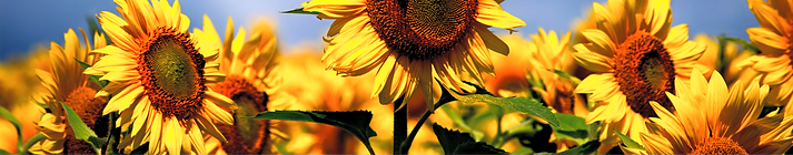 Sunflowers%2520at%2520Colby%2520Farm%252