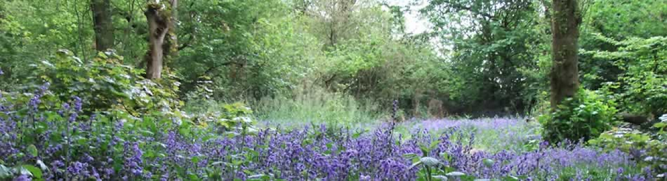 Bluebells in Chaddesden Wood