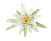 Edelweiss_edited.png