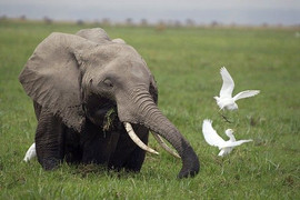African Elephant And Cattle Egrets  Artw