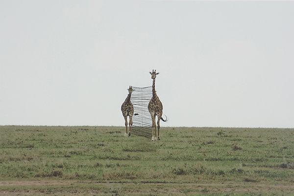 giraf, 2010,  sewing horse hair on pigment print, 50x70.jpg