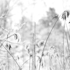 Snow Capped Reeds I