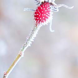 Crystalized Flora ( Rosehip )