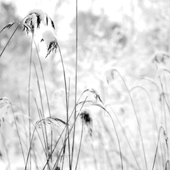 Snow Capped Reeds II