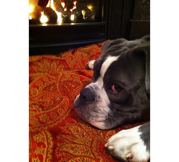 We Loveland: Ahab, the Blue Ode English Bulldogge