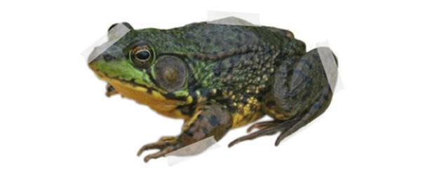 The Bullfrog Serenade