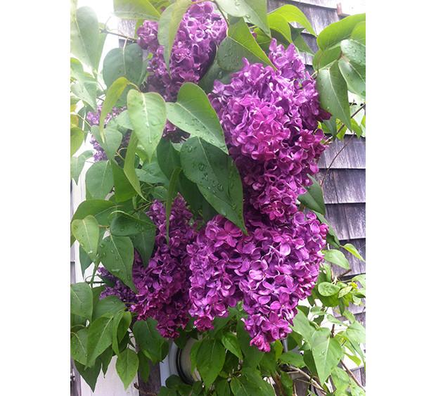 We Loveland: Lilacs