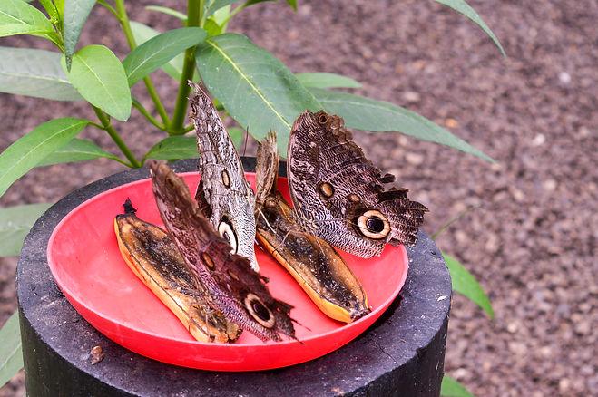 Mariposas de Mindo se alimentan