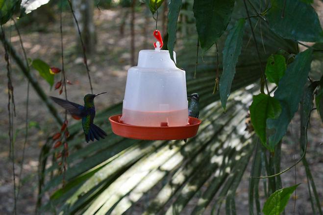 Colibríes en Mindo, Ecuador