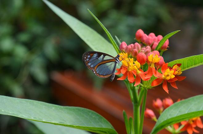 Mariposas de Mindo en Ecuador