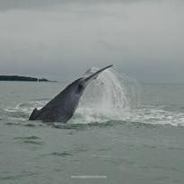 Juanchaco y Ladrilleros, las ballenas jorobadas son colombianas