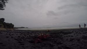 Cangrejos en Playa Negra, Mompiche (Ecuador)