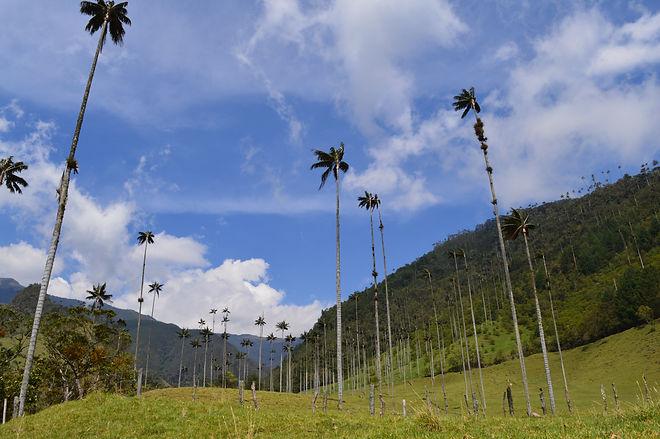 el majestuoso valle del cocora en salento quindio