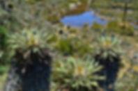 Frailejones en Páramo de Guacheneque, Villapinzón