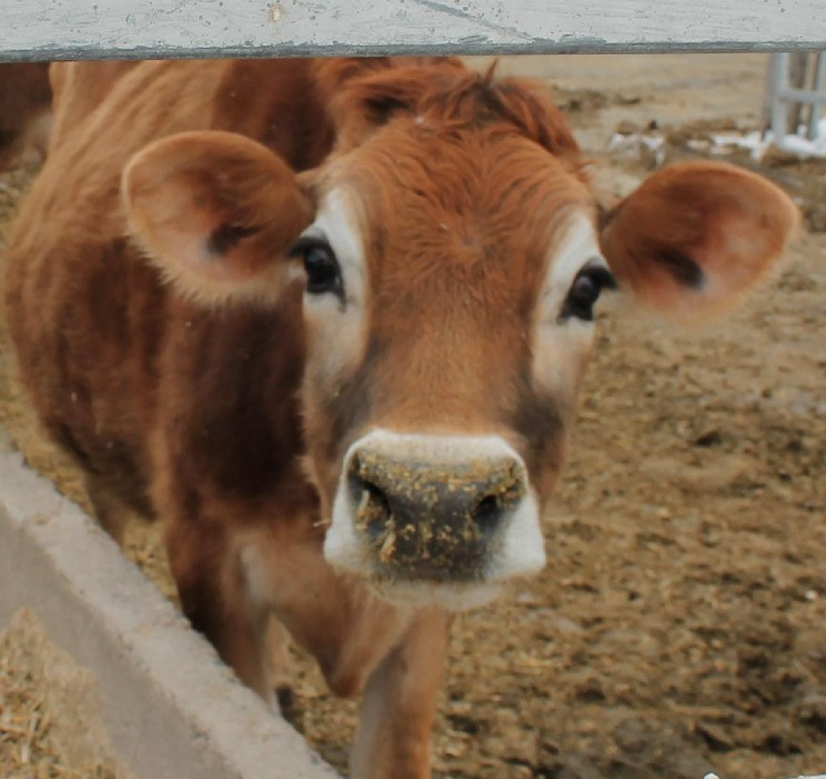 A happy dairy cow from Kilgus Farmstead