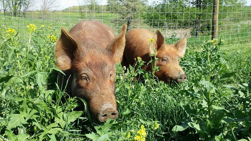 Pastured Pork from Sugar Grove Family Farm