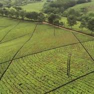 Tea Fields of Southern Malawi