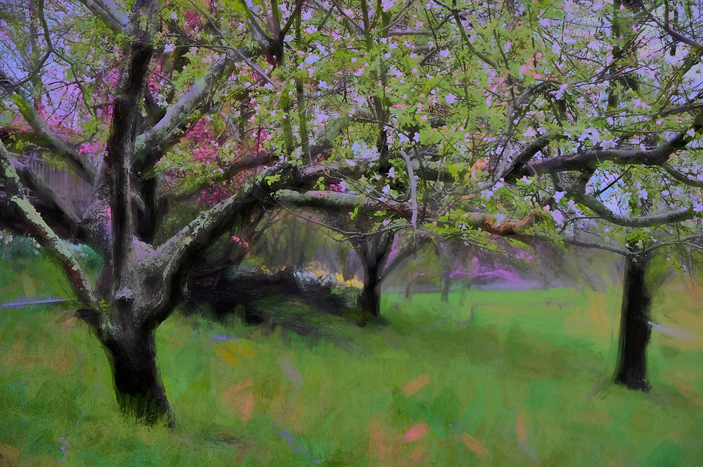 photograph of apple orchard in bloom ©Anne Ryan Miller