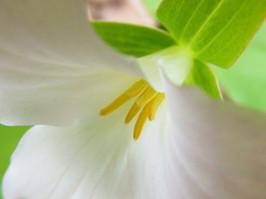 Large Flowering Trillium I