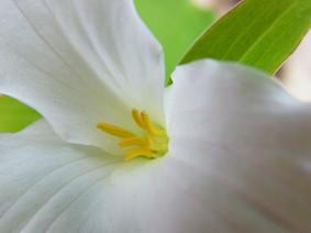 Large Flowering Trillium II