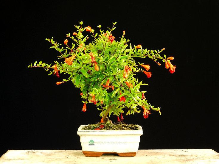 Granado Nana - Punica Granatum
