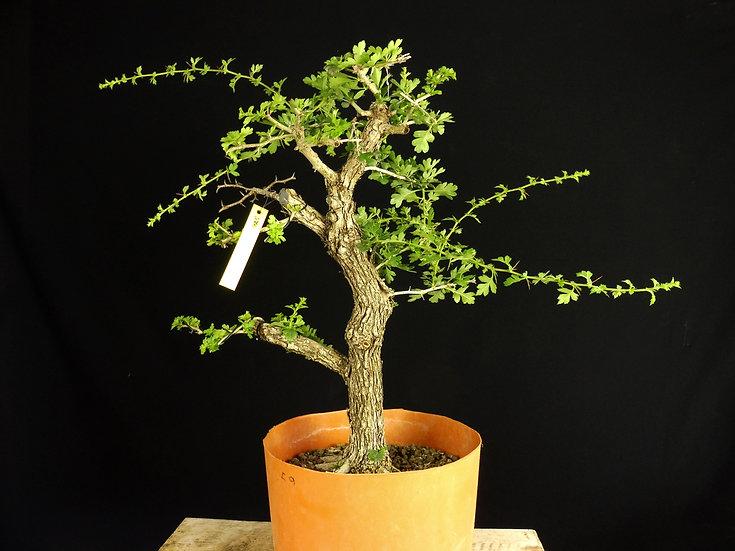 Espino Blanco - Crataegus Monogyna