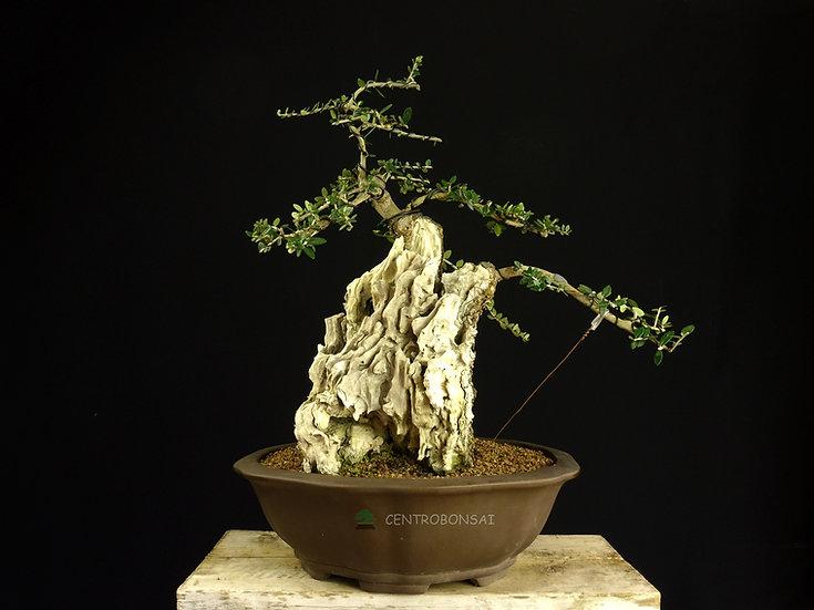 Olivo Silvestre - Acebuche