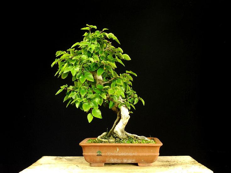 Carpe Coreano - Carpinus Coreana