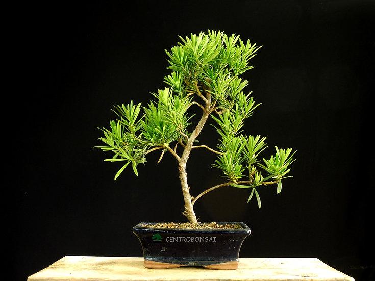 Podocarpo - Podocarpus Macrophyllus