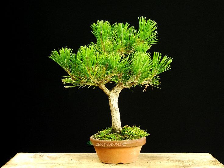 Pino Negro - Pinus Thunbergii