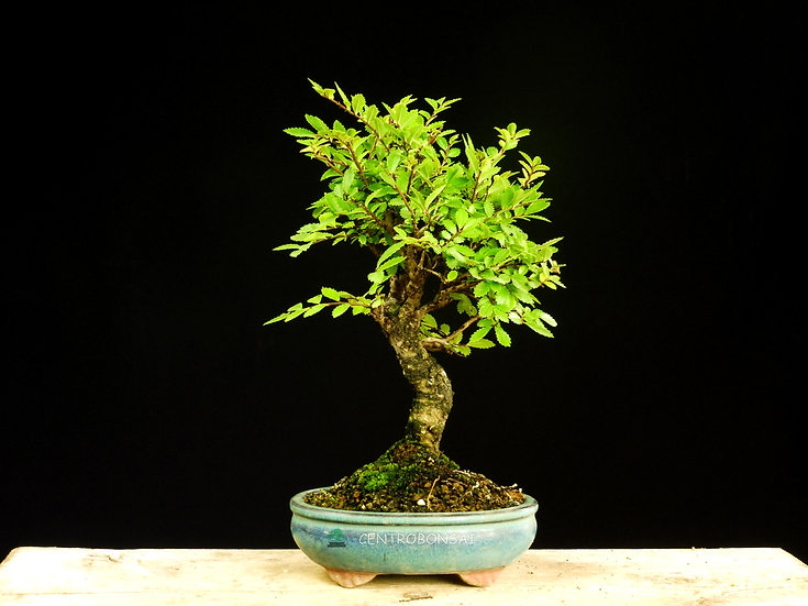 Olmo Parvifolia