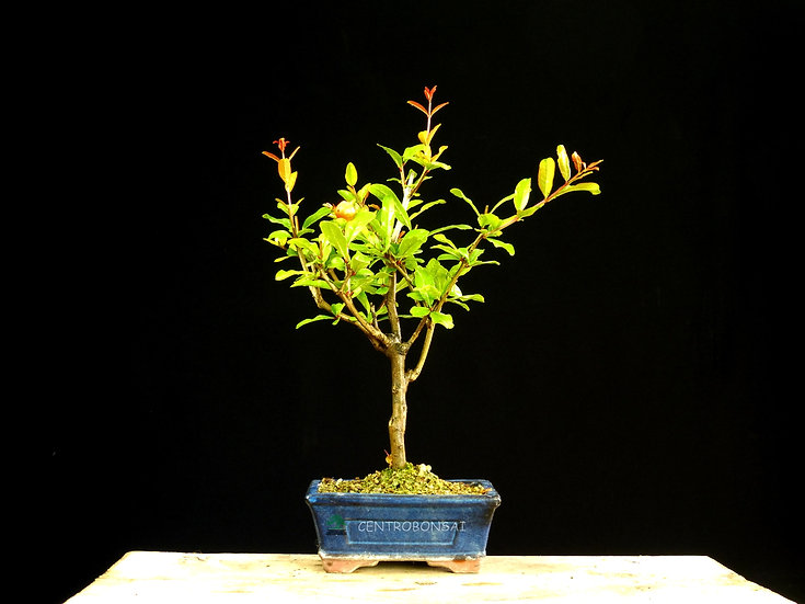 Granado - Punica Granatum