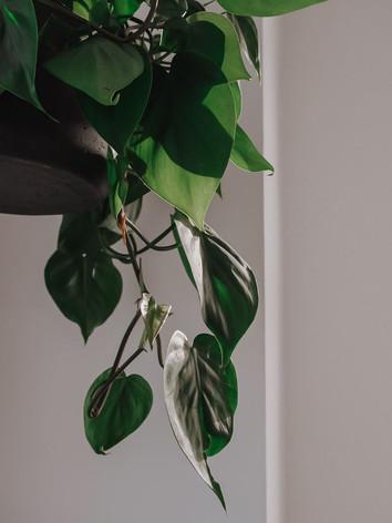 Так как в тату-студии SASHATATTOING в Санкт-Петербурге есть множество больших окон, которые в плотной концентрации размещены на двух стенах из четырех, а также потолочное освещение яркое и холодное, мы не рекомендовали ставить фитолампы, так как для растений этого количества естественного и искуственного освещения будет достаточно