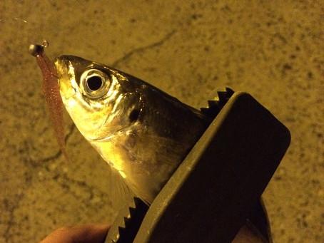 関門でアジ釣り(アジング)