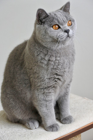 Chat male adulte british shorthair bleu