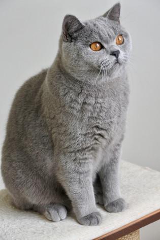 Chat male adulte british shorthair bleu